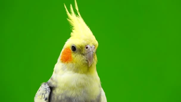 portrait of a parrot corella on green screen