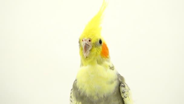 portrét papoušek corella na bílé plátno