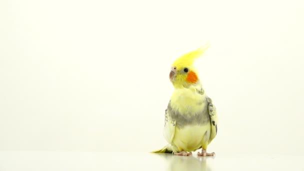 Corella papouška se pohybuje na bílé plátno