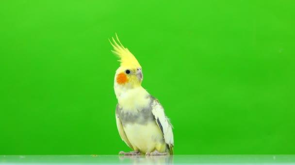 Corella papoušek izolované na zelené obrazovce