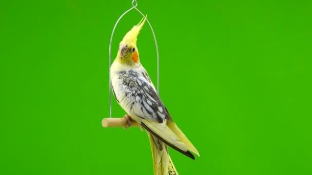 Corella papagáj zöld képernyő elszigetelt