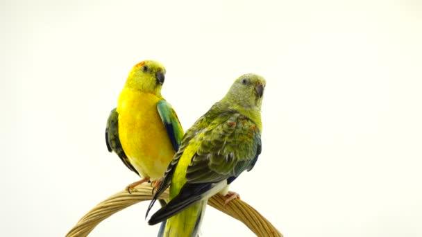 parrots (haematonotus psephotus) sing isolated on white screen. Sound