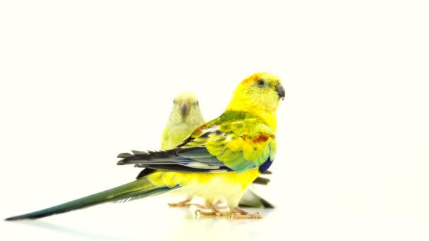 Papageien (haematonotus psephotus) singen isoliert auf weißem Bildschirm
