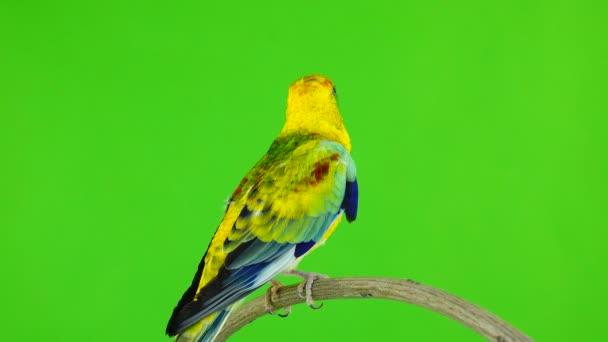 samec papouška (haematonotus psephotus) zpívat izolované na zelené obrazovce. Zvuk