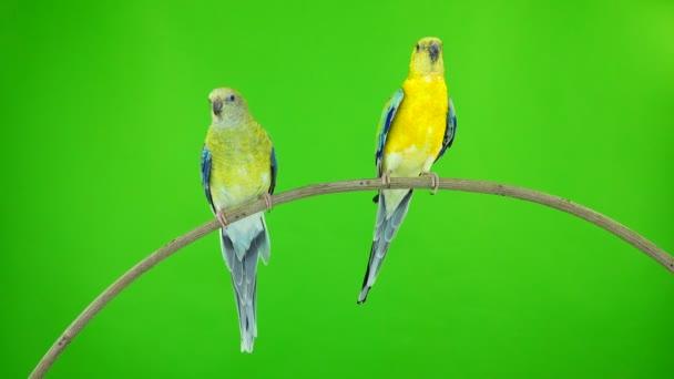 papoušci (haematonotus psephotus) zpívat izolované na zelené obrazovce. Zvuk