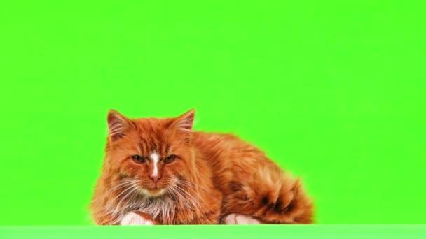 Ingwerkatze lag und sah sich auf grünem Bildschirm um