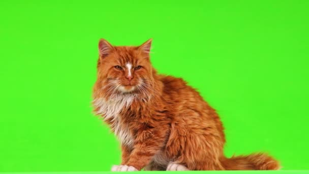 Gyömbér macska feküdt, és nézett körül-ra egy zöld képernyő