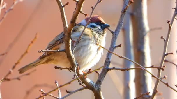 sparrow sitting on a branch in the early spring. Sound