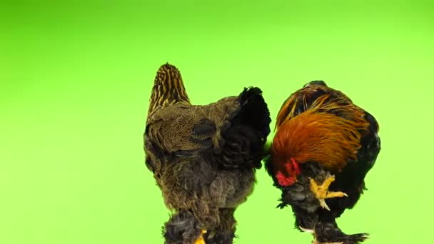 Brahma Gallo e pollo isolato sullo schermo verde