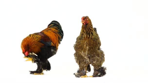 Brahma Gallo e pollo, prendersi cura di pollo, isolato sullo schermo bianco