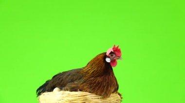 Partridge Stock Videos, Royalty Free Partridge Footages