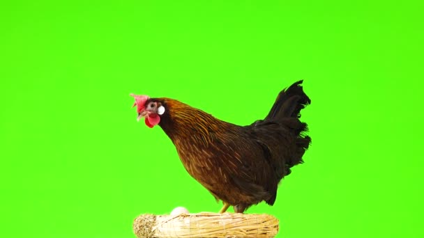 camera rotates around the chicken on the nest isolated on green screen