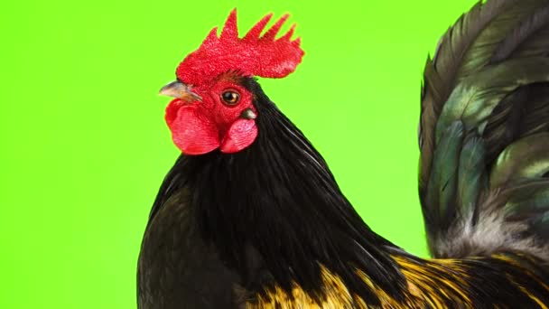 portrait black with yellow feathers cock on a green screen