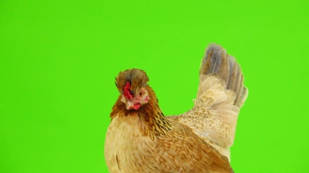 portrait brown chicken on a green screen