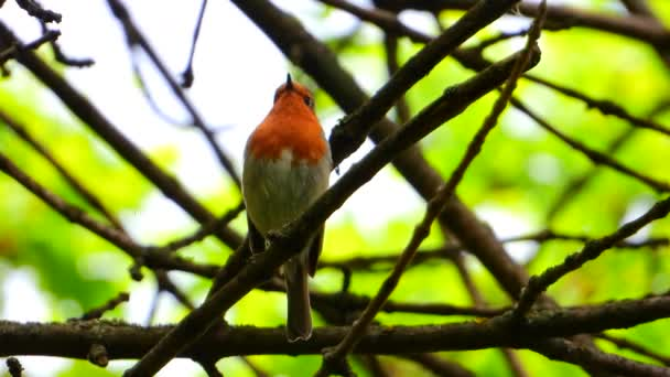 song European Robin on a branch in the forest