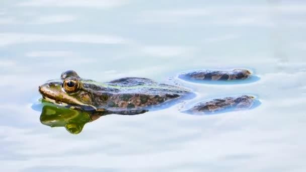 žába na jezeře. zvuk