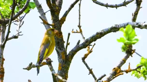 Európai Zöldpinty énekel egy fa ág. Hang