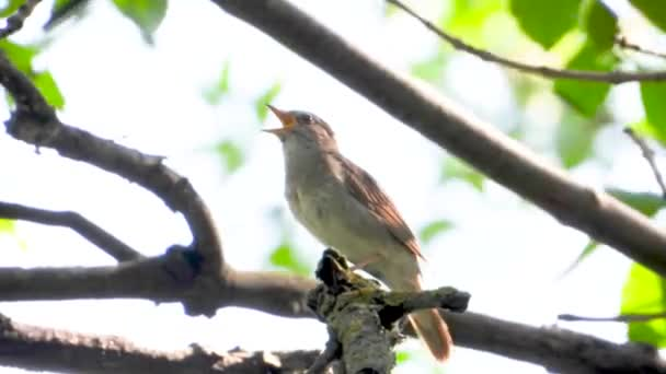 singing nightingale on a tree branch