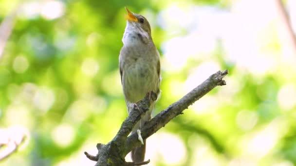 zpěv Slavík na větvi stromu, zvuk