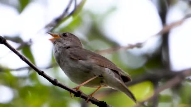 singing nightingale on a tree branch, sound