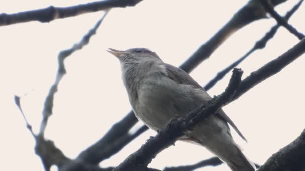 singing nightingale on a branch on a white background, sound