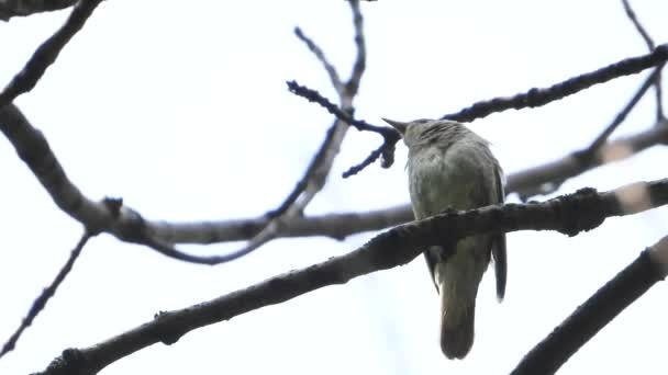 énekelnek Nightingale a fióktelep a fehér háttér, hang
