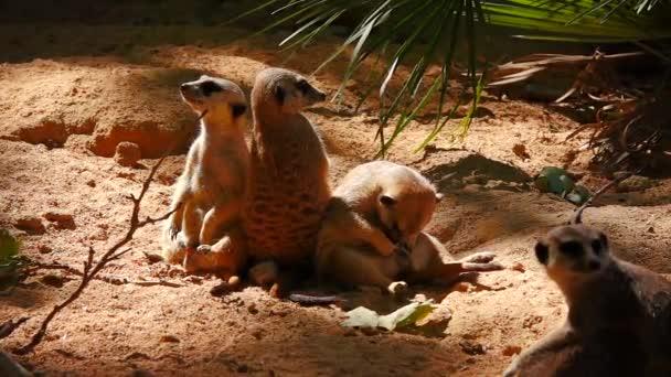 Lassú mozgás gyönyörű Meerkats a homokban nézni az eseményeket előforduló Chan