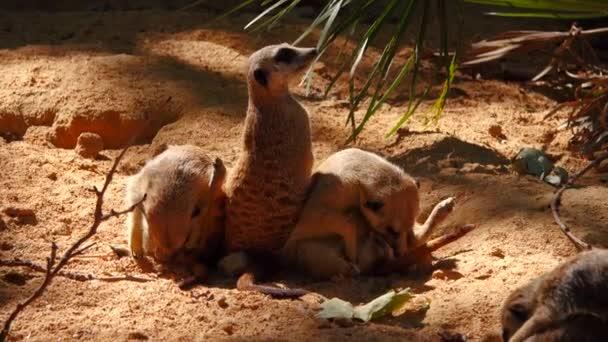 gyönyörű Meerkats a homokban nézni az eseményeket a bekövetkezett változások Natur