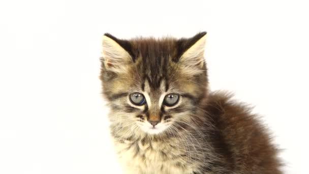 portrait of a kitten on a white screen