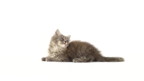 kitten plays on a white screen