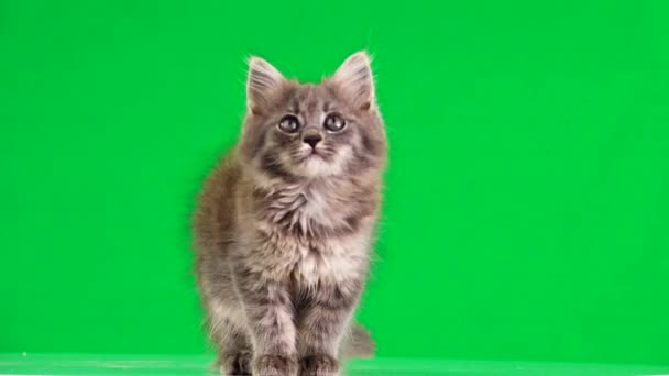 gray kitten looks in different directions on a green screen