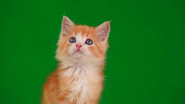 oranžová kočička vypadá v různých směrech na zelené obrazovce