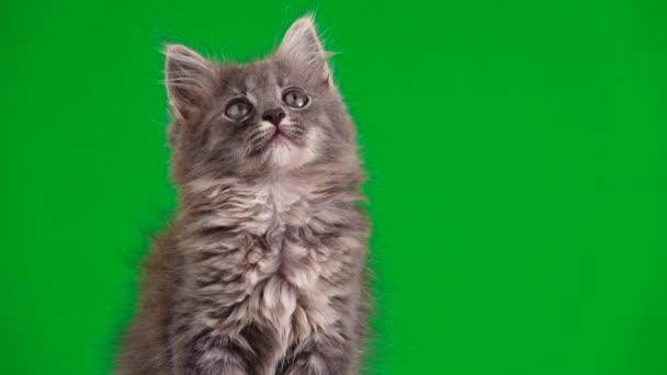 szürke cica néz-ban különböző utasítások-ra egy zöld képernyő