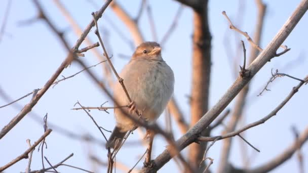 sparrow sitting on a branch early morning, sound