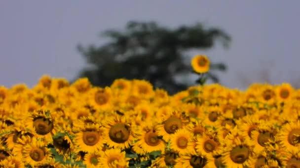 přelud v oblasti slunečnic, zvuk