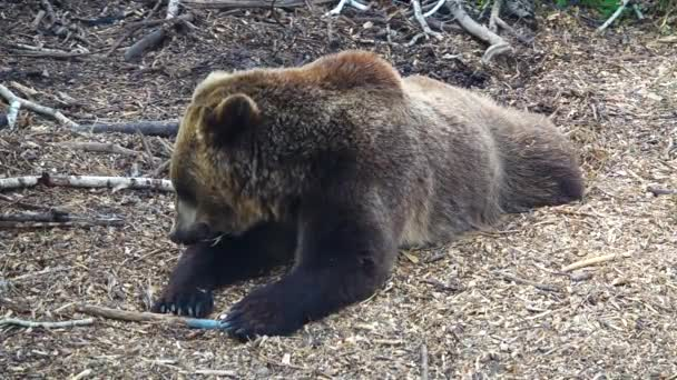 The bear hides its paw from the falling drops of rain. Slow motion
