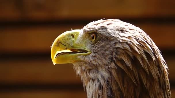 Fallende Regentropfen und die Reaktion des Adlers auf Ereignisse. Zeitlupe.