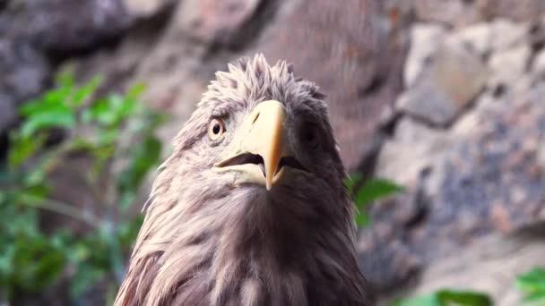 Porträt-Adler auf grauem Hintergrund