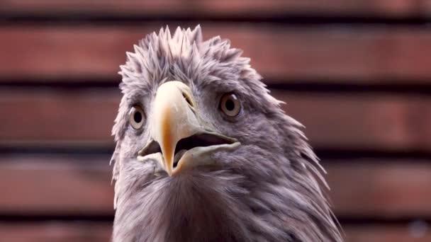 Porträt eines Adlers auf braunem Hintergrund.