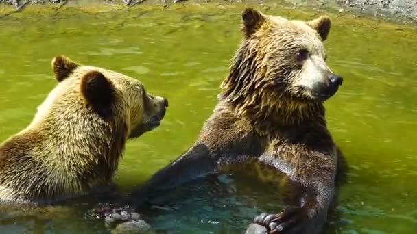 Two bears are sitting in the water and looking in different directions. slow motion