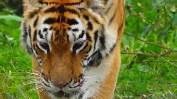 Usuri Tiger läuft auf dem grünen Gras.