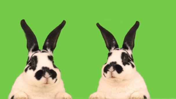 Dva mluvící králíci izolovaní na zelené obrazovce.