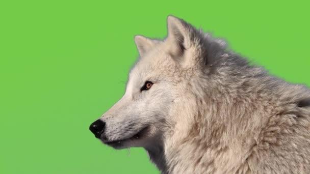 Polární vlk se těší na zelenou obrazovku.