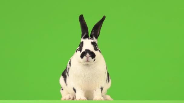 Das Kaninchen starrt auf einem grünen Bildschirm gespannt in die Kamera.