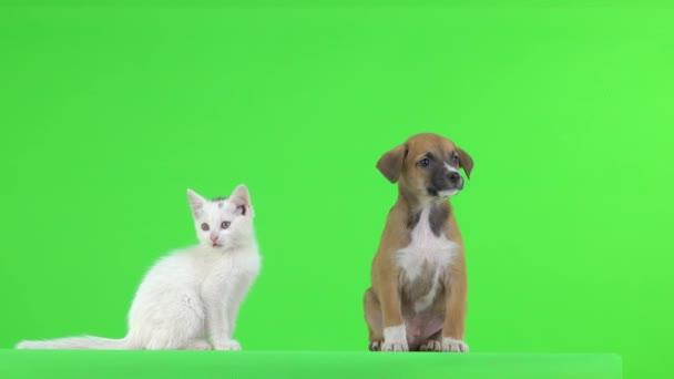 Bílé koťátko a hnědé štěně na zelené obrazovce.