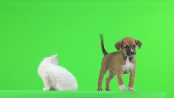 Bílé kotě a hnědé štěně hraje na zelené obrazovce.