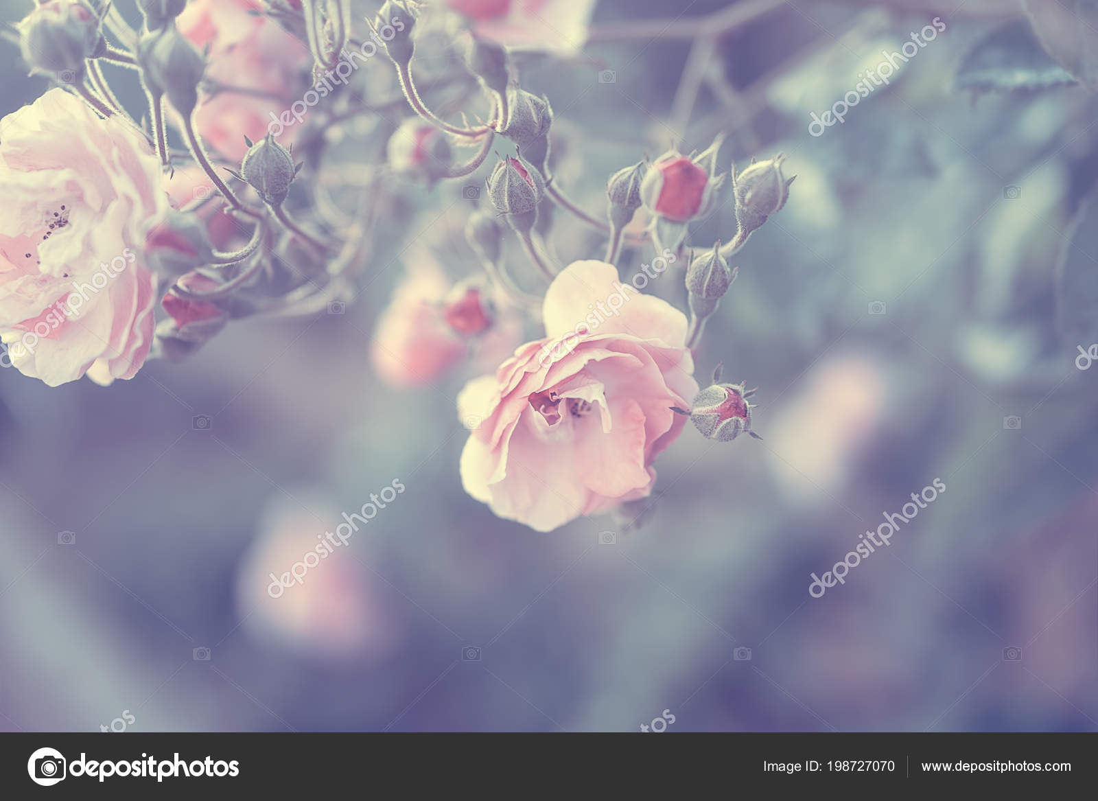 Pastel Rose Background Vintage Style Photo Tender Pink Rose Bush