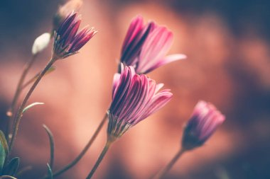 Closeup grunge style photo of a beautiful gentle pink daisy flowers over blurry background, abstract floral wallpaper, beauty of spring nature