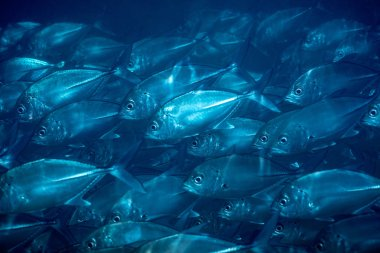 Flock of fish under water, blue natural background, beautiful underwater nature, wild sea life, exotic fishes of Sri Lanka