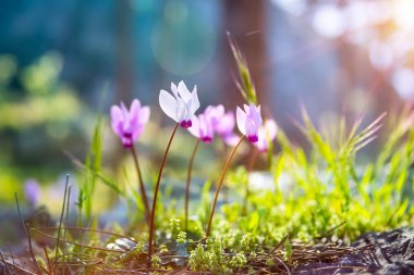 First spring flowers, little gentle pink wildflowers in the forest in sunny morning, freshness of springtime nature
